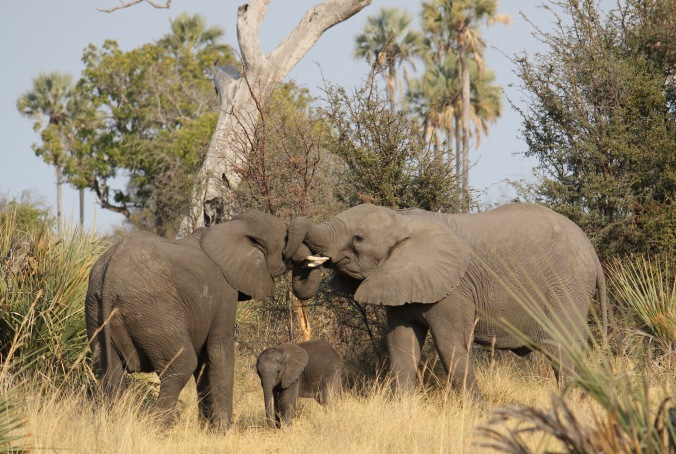 GT elephant family trunks entwined